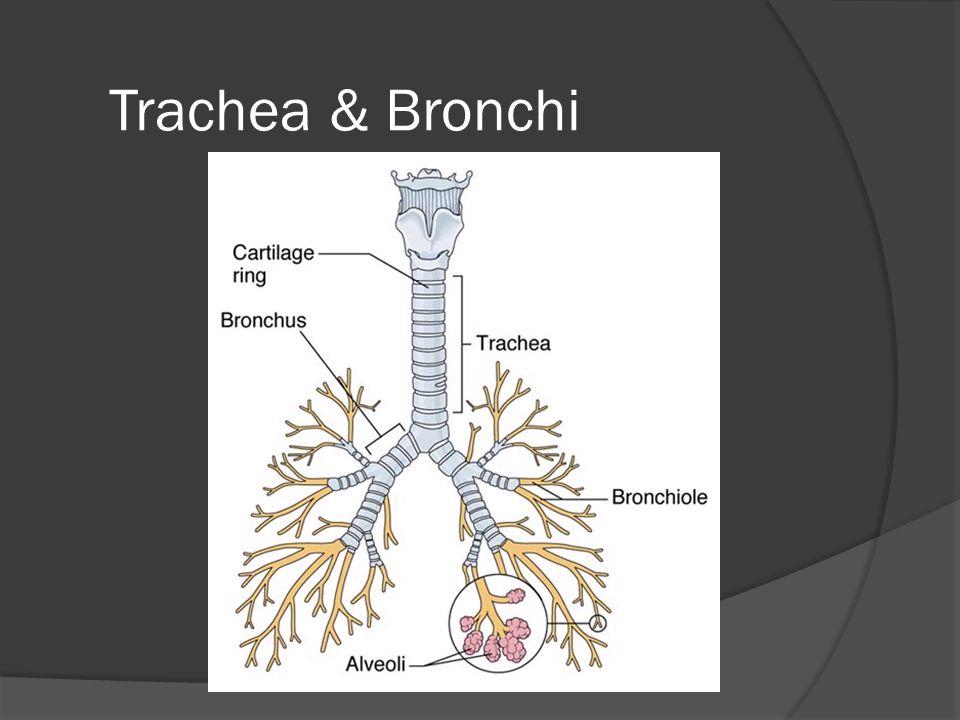 Respiratory System Bronchi  Trachea divides (bifurcates) into two primary bronchi  Secondary bronchi  Tertiary bronchi  Bronchioles
