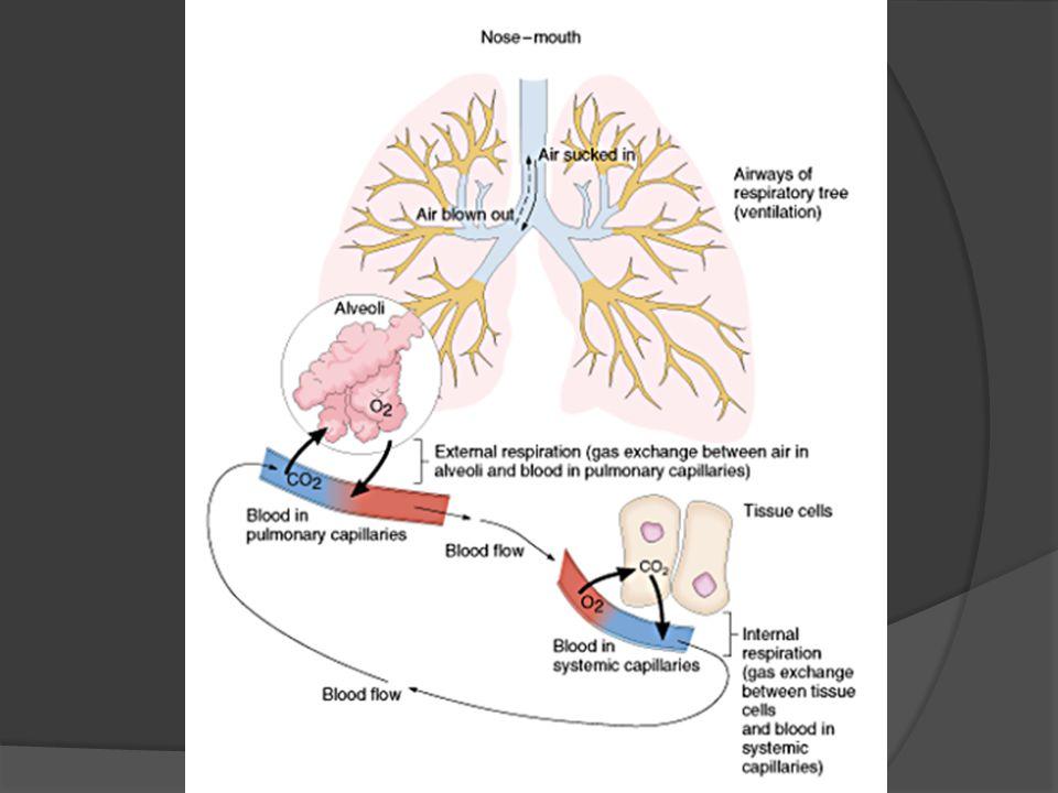 Regulation of Respiratory System  Nervous system Medulla ○ Responsible for inspiration & expiration Pons ○ Regulates normal rhythm of breathing Centers -apneustic center -Pneumotaxic center