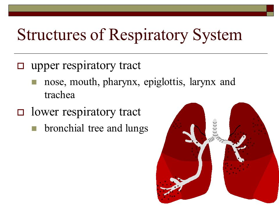 Structures of Respiratory System  upper respiratory tract nose, mouth, pharynx, epiglottis, larynx and trachea  lower respiratory tract bronchial tr