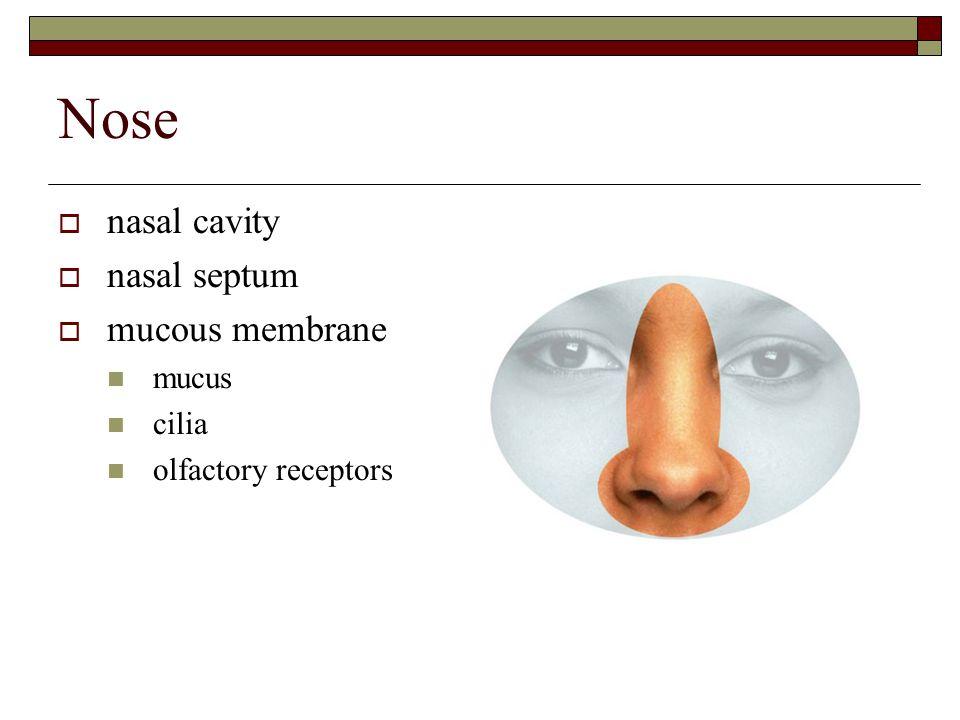 Nose  nasal cavity  nasal septum  mucous membrane mucus cilia olfactory receptors