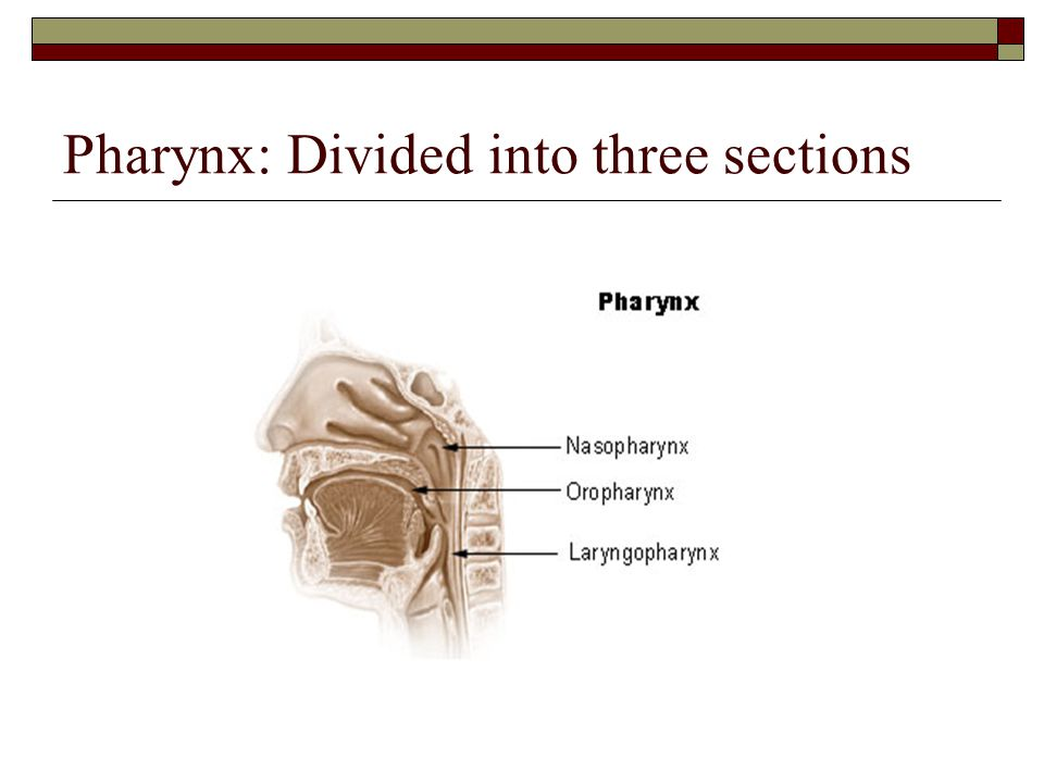 Pharynx: Divided into three sections