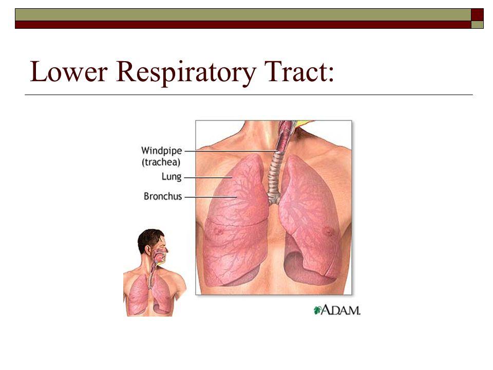 Lower Respiratory Tract: