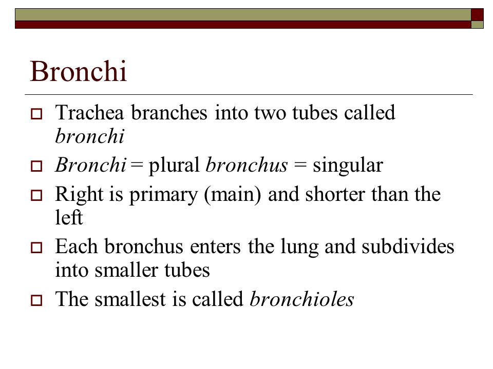Bronchi  Trachea branches into two tubes called bronchi  Bronchi = plural bronchus = singular  Right is primary (main) and shorter than the left  Each bronchus enters the lung and subdivides into smaller tubes  The smallest is called bronchioles