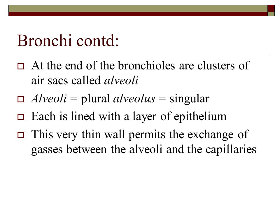 Bronchi contd:  At the end of the bronchioles are clusters of air sacs called alveoli  Alveoli = plural alveolus = singular  Each is lined with a l