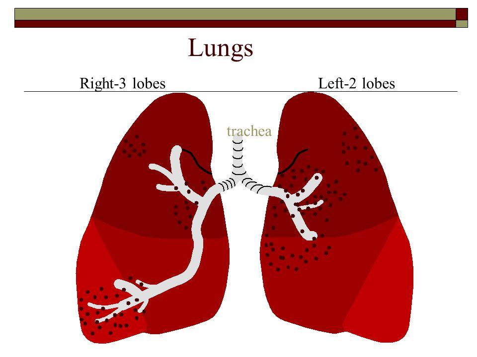 Right-3 lobesLeft-2 lobes Lungs trachea