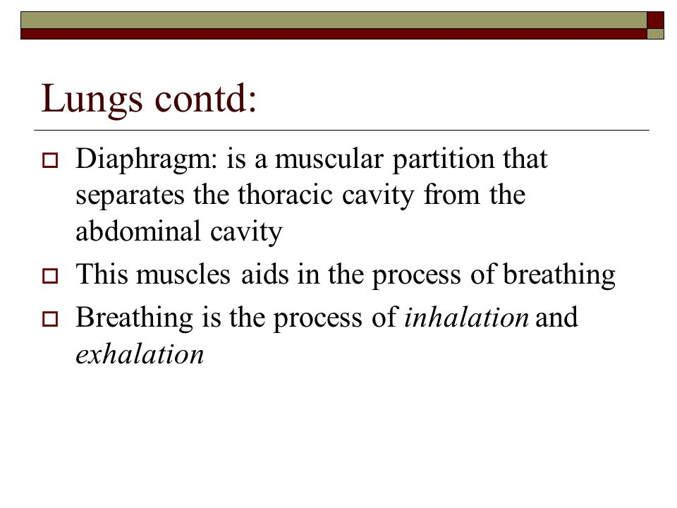 Lungs contd:  Diaphragm: is a muscular partition that separates the thoracic cavity from the abdominal cavity  This muscles aids in the process of breathing  Breathing is the process of inhalation and exhalation