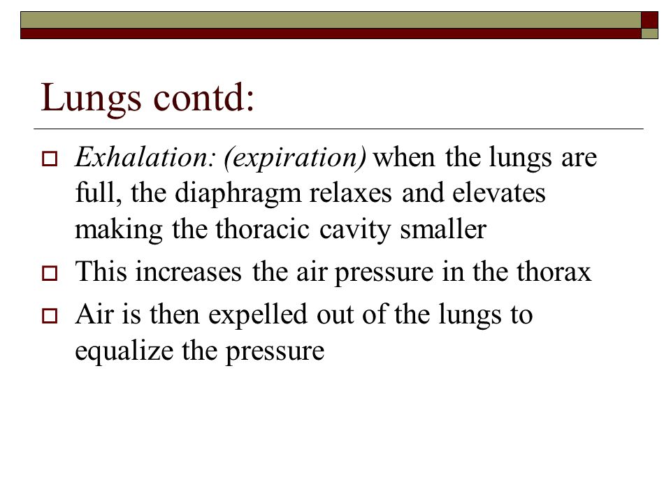 Lungs contd:  Exhalation: (expiration) when the lungs are full, the diaphragm relaxes and elevates making the thoracic cavity smaller  This increases the air pressure in the thorax  Air is then expelled out of the lungs to equalize the pressure