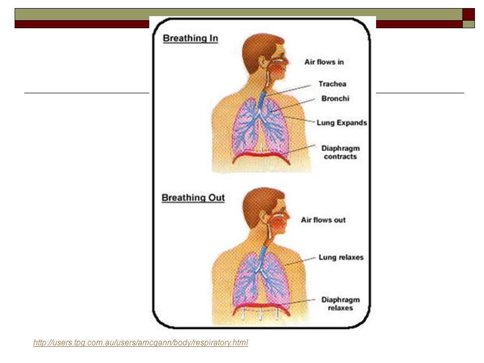 http://users.tpg.com.au/users/amcgann/body/respiratory.html