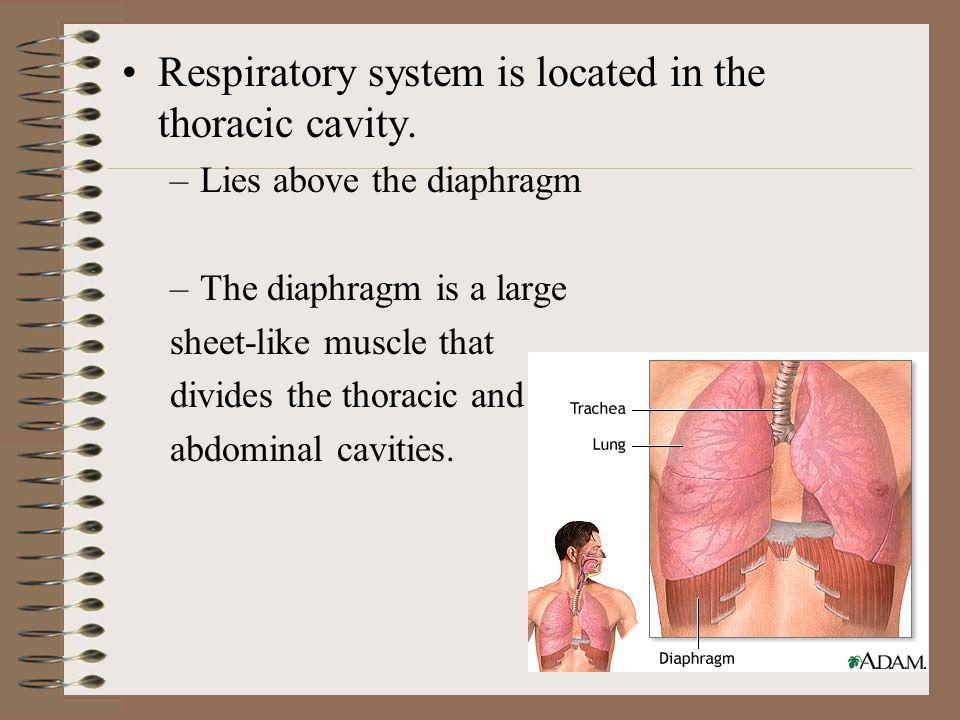 Nasal hairs filter air Nasal chambers moistens and warms the air.