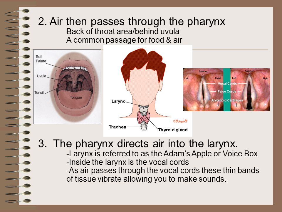 4.The larynx has a flap of tissue protecting its opening called the epiglottis.