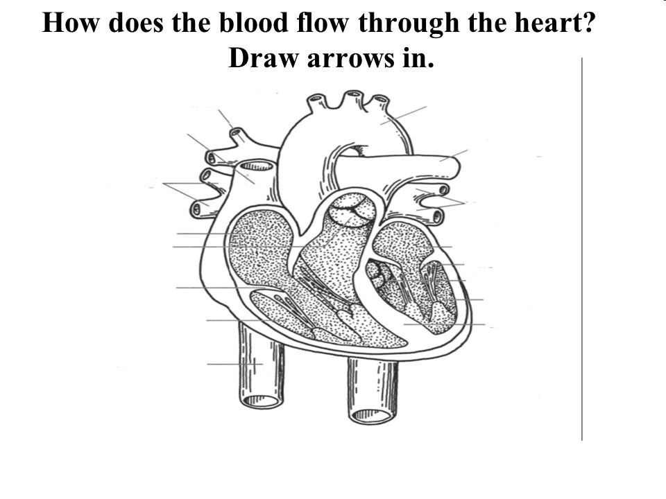 The right side of the heart pumps to the lungs and the left side pumps to the rest of the body OR The atria (2 atriums) pump together and ventricles pump together.