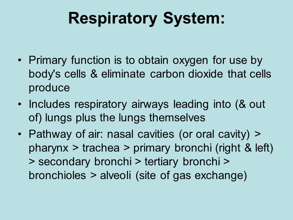 Respiratory System: Primary function is to obtain oxygen for use by body s cells & eliminate carbon dioxide that cells produce Includes respiratory airways leading into (& out of) lungs plus the lungs themselves Pathway of air: nasal cavities (or oral cavity) > pharynx > trachea > primary bronchi (right & left) > secondary bronchi > tertiary bronchi > bronchioles > alveoli (site of gas exchange)