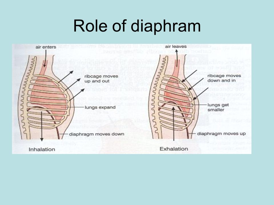 Role of diaphram
