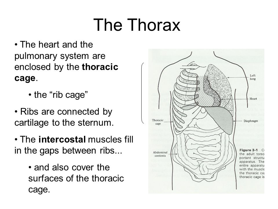 The Thorax The heart and the pulmonary system are enclosed by the thoracic cage.