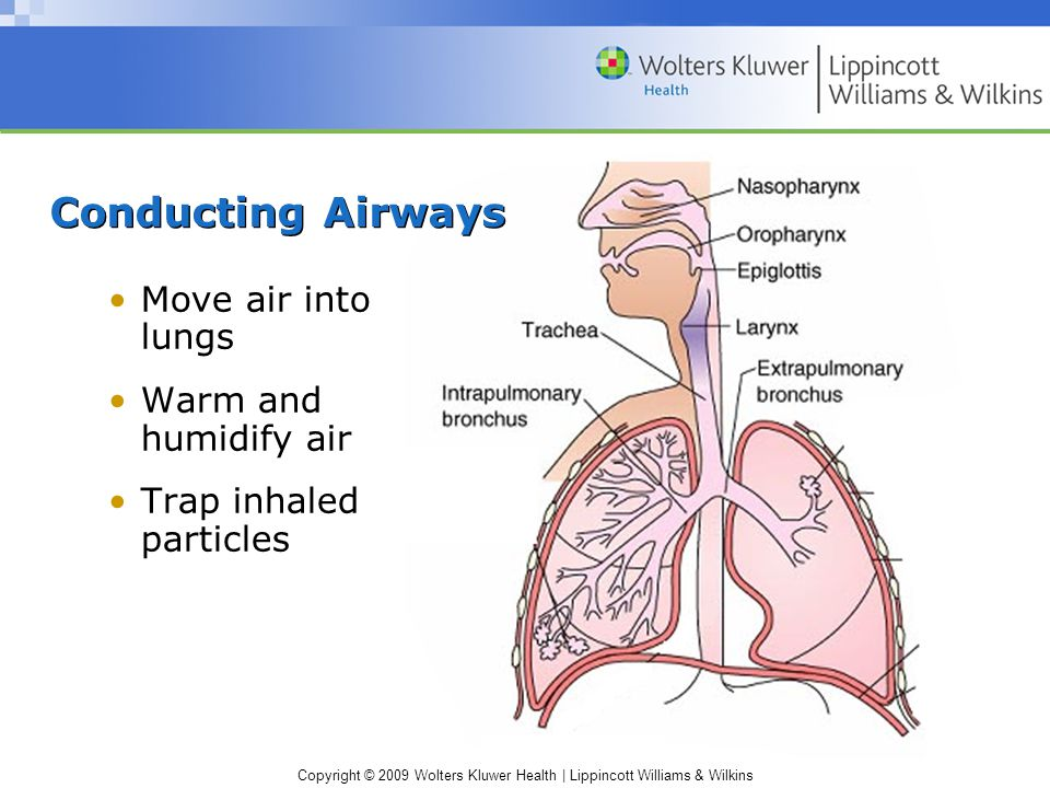 Copyright © 2009 Wolters Kluwer Health   Lippincott Williams & Wilkins Respiratory Airways Bronchioles Alveoli Gas is exchanged with the blood
