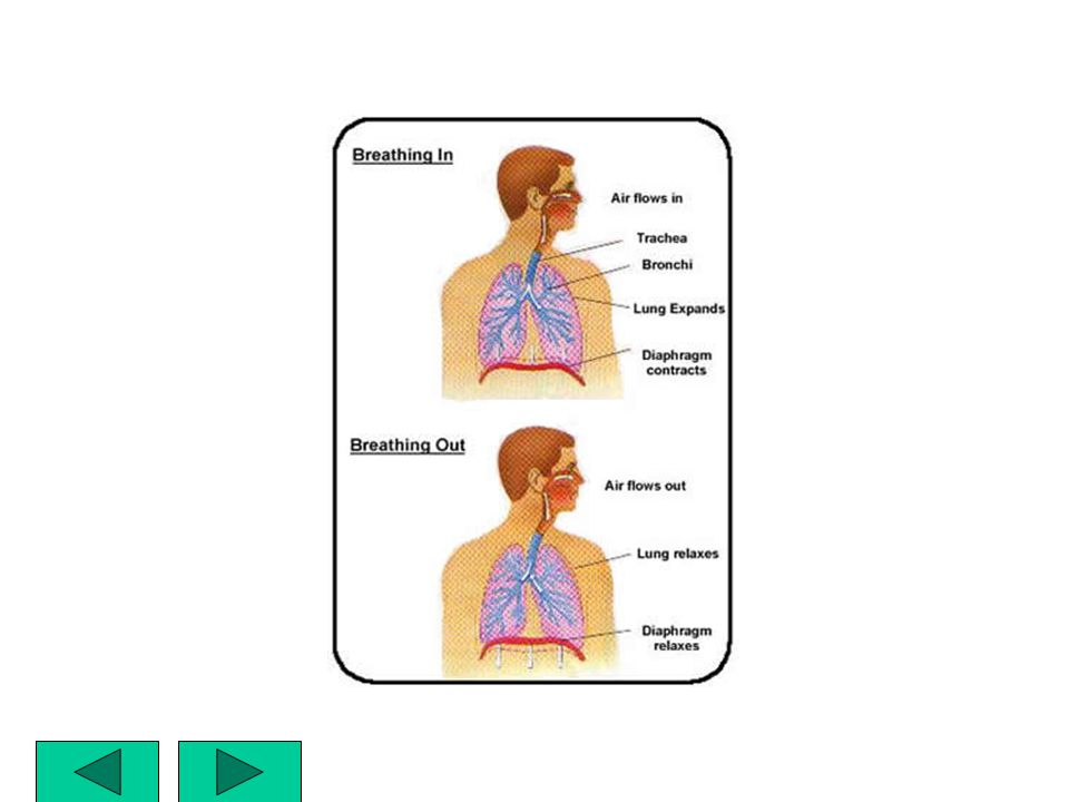 EXHALE – DIAPHRAGM RETURNS TO NORMAL –SPACE DECREASES IN CHEST CAVITY –AIR PRESSURE INCREASES –AIR IS FORCED OUT