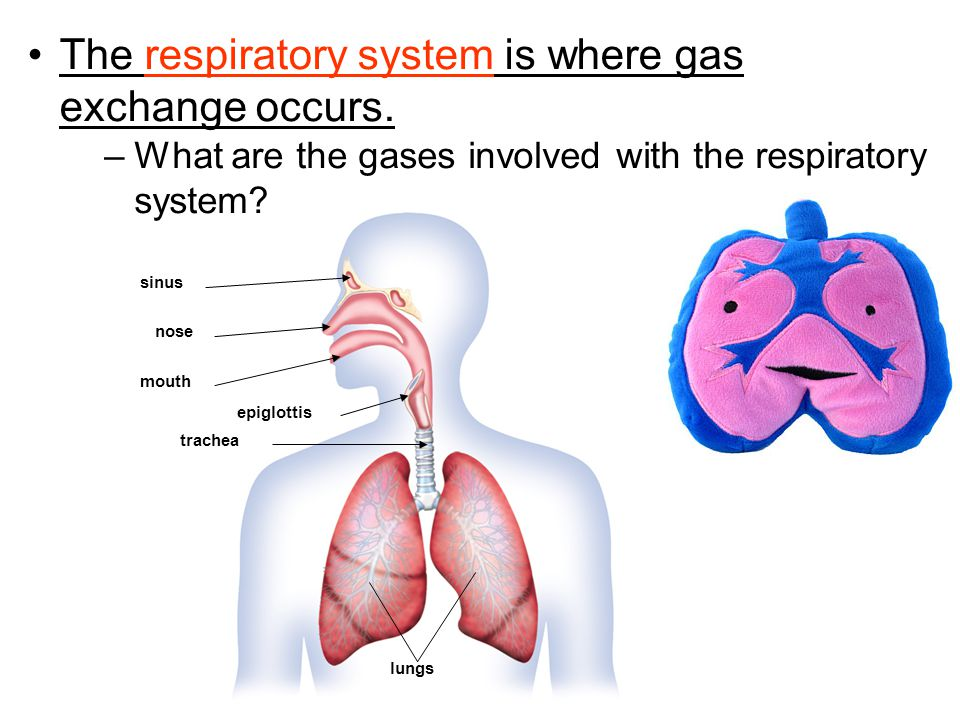 –picks up oxygen from inhaled air –expels carbon dioxide and water