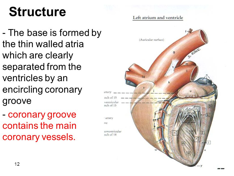 12 Structure - The base is formed by the thin walled atria which are clearly separated from the ventricles by an encircling coronary groove - coronary groove contains the main coronary vessels.