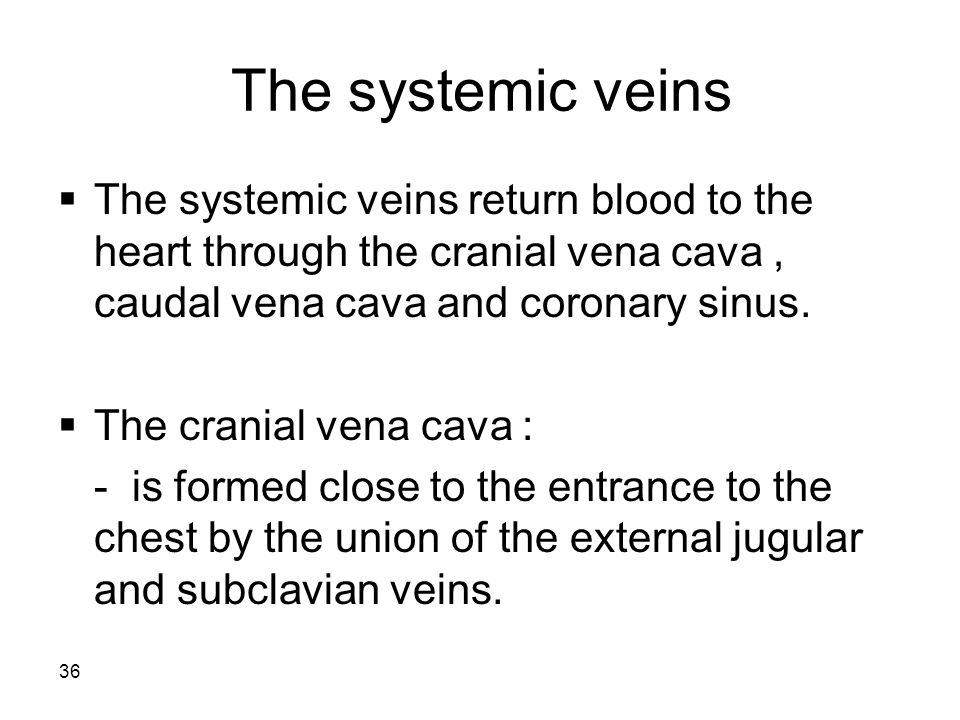 37  The caudal vena cava: - is formed on the abdomen near the pelvic inlet, by the union of right and left common iliac veins.