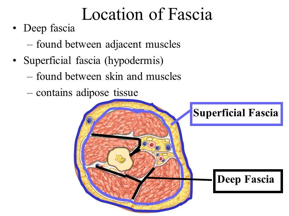 Location of Fascia Superficial Fascia Deep Fascia Deep fascia –found between adjacent muscles Superficial fascia (hypodermis) –found between skin and