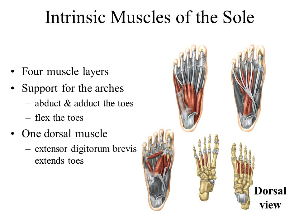 Intrinsic Muscles of the Sole Four muscle layers Support for the arches –abduct & adduct the toes –flex the toes One dorsal muscle –extensor digitorum