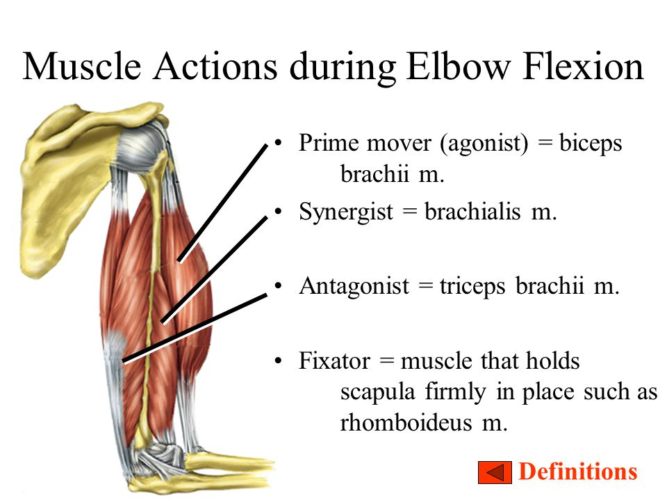 Muscle Actions during Elbow Flexion Prime mover (agonist) = biceps brachii m. Synergist = brachialis m. Antagonist = triceps brachii m. Fixator = musc