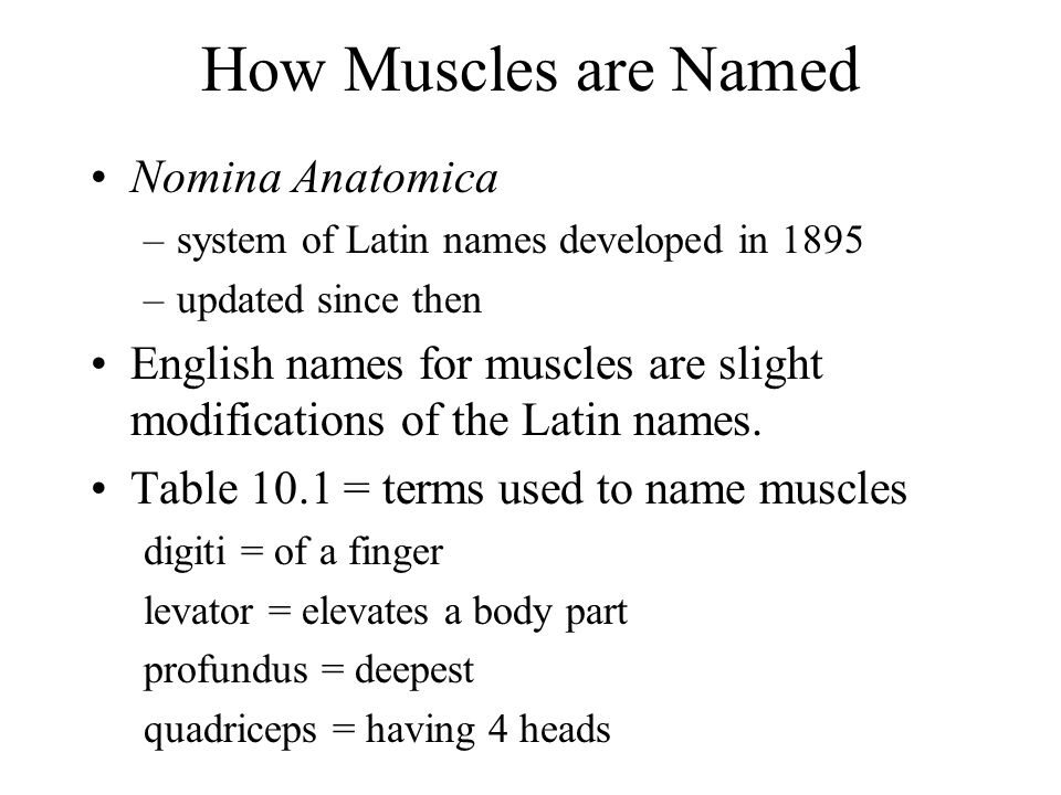 How Muscles are Named Nomina Anatomica –system of Latin names developed in 1895 –updated since then English names for muscles are slight modifications