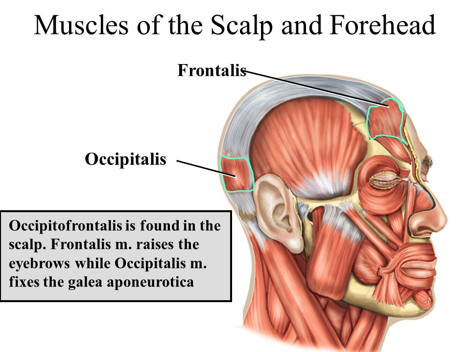 Occipitofrontalis is found in the scalp. Frontalis m. raises the eyebrows while Occipitalis m. fixes the galea aponeurotica Muscles of the Scalp and F