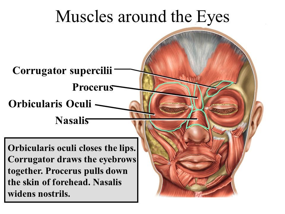 Corrugator supercilii Muscles around the Eyes Nasalis Orbicularis oculi closes the lips. Corrugator draws the eyebrows together. Procerus pulls down t
