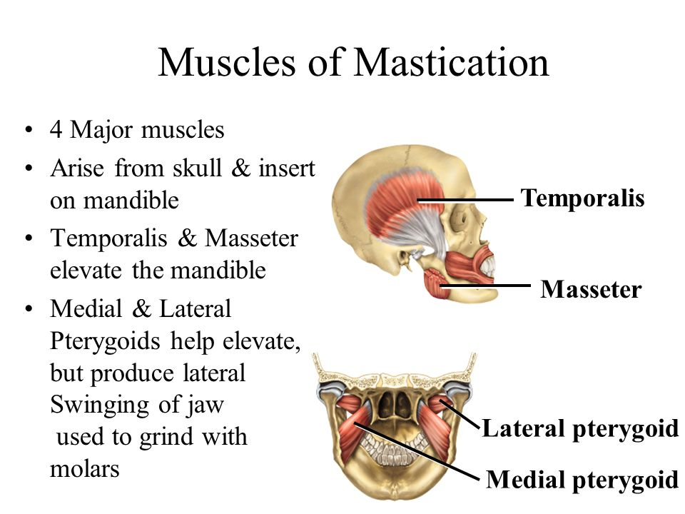Muscles of Mastication 4 Major muscles Arise from skull & insert on mandible Temporalis & Masseter elevate the mandible Medial & Lateral Pterygoids he