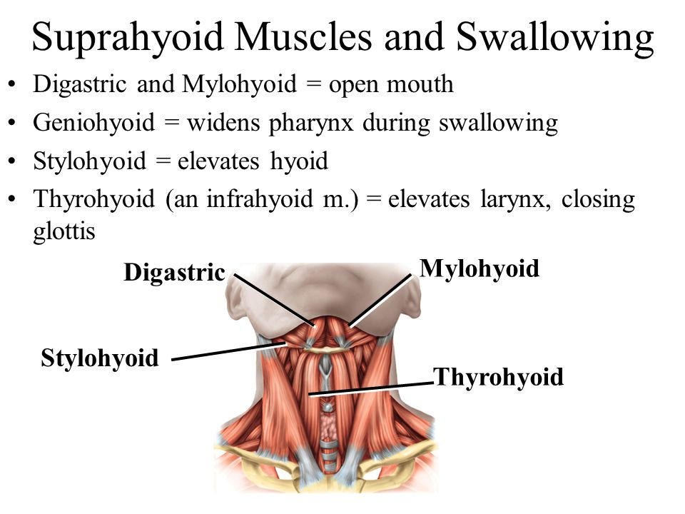 Suprahyoid Muscles and Swallowing Digastric and Mylohyoid = open mouth Geniohyoid = widens pharynx during swallowing Stylohyoid = elevates hyoid Thyro