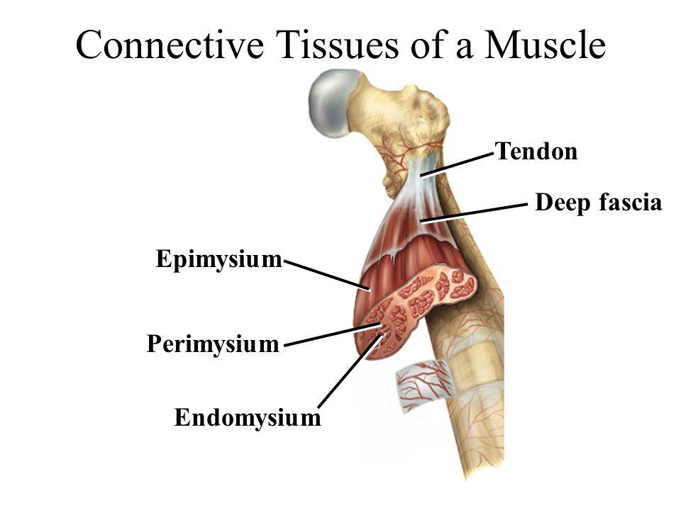 Connective Tissues of a Muscle Perimysium Epimysium Endomysium Tendon Deep fascia