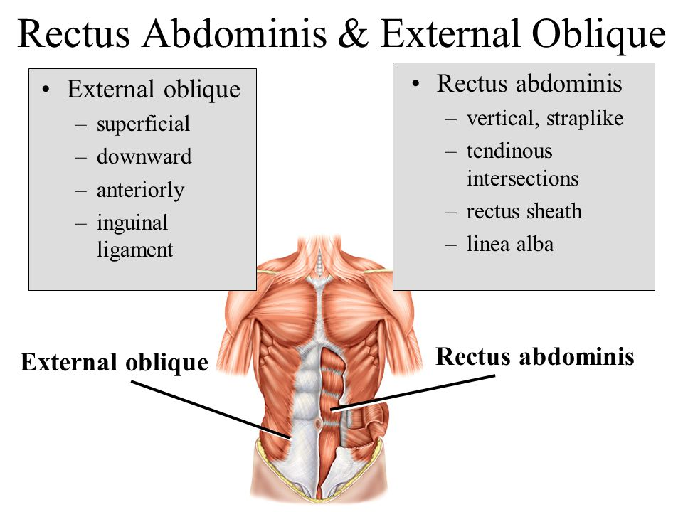 Rectus Abdominis & External Oblique External oblique –superficial –downward –anteriorly –inguinal ligament Rectus abdominis –vertical, straplike –tend