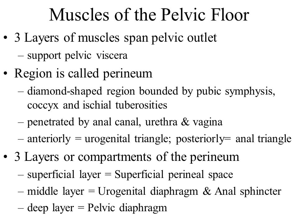 Muscles of the Pelvic Floor 3 Layers of muscles span pelvic outlet –support pelvic viscera Region is called perineum –diamond-shaped region bounded by