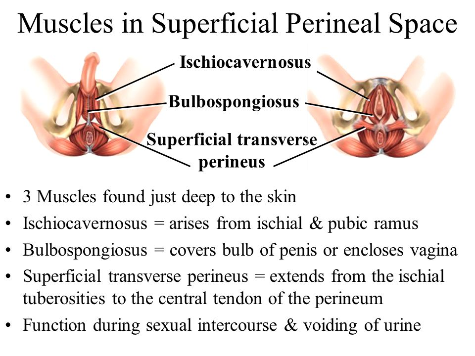 Muscles in Superficial Perineal Space 3 Muscles found just deep to the skin Ischiocavernosus = arises from ischial & pubic ramus Bulbospongiosus = cov