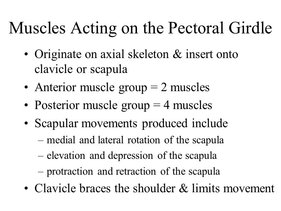 Muscles Acting on the Pectoral Girdle Originate on axial skeleton & insert onto clavicle or scapula Anterior muscle group = 2 muscles Posterior muscle