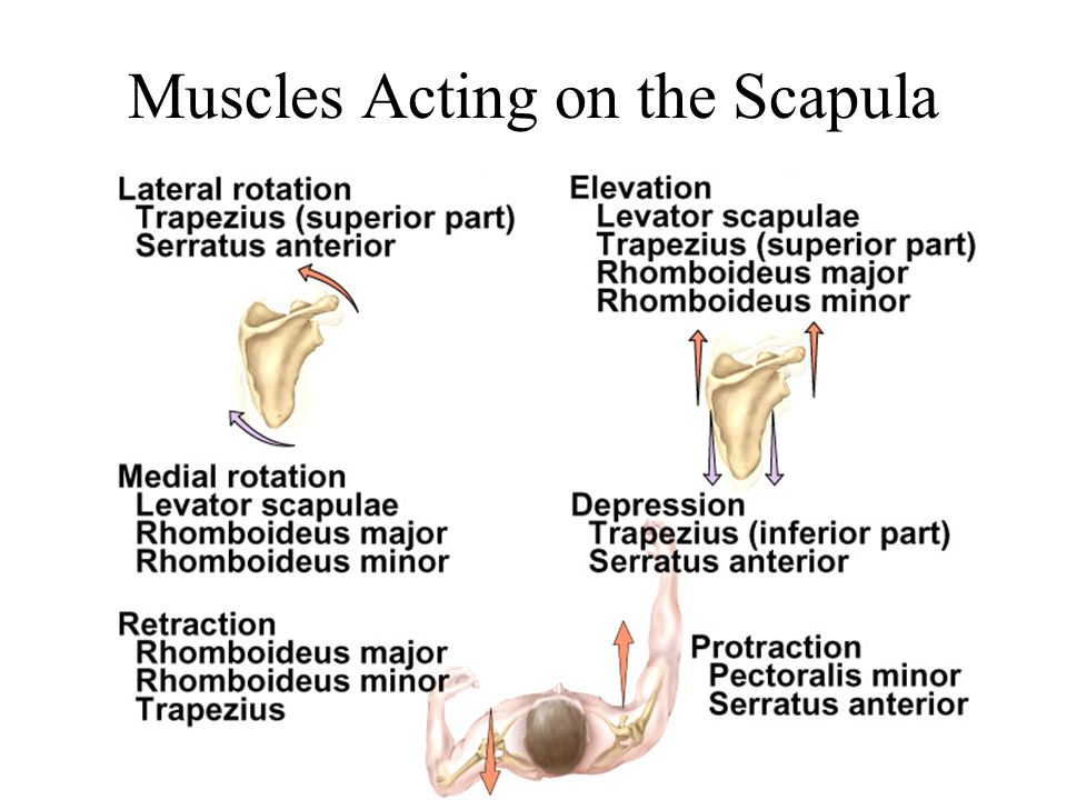 Muscles Acting on the Scapula