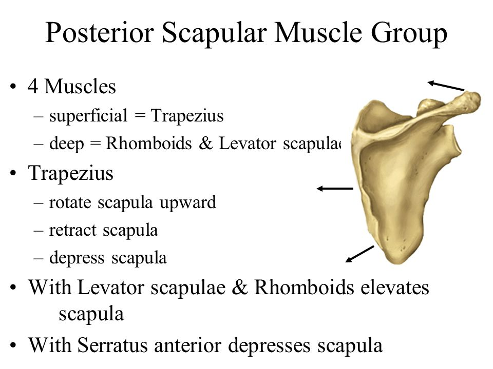 Posterior Scapular Muscle Group 4 Muscles –superficial = Trapezius –deep = Rhomboids & Levator scapulae Trapezius –rotate scapula upward –retract scap