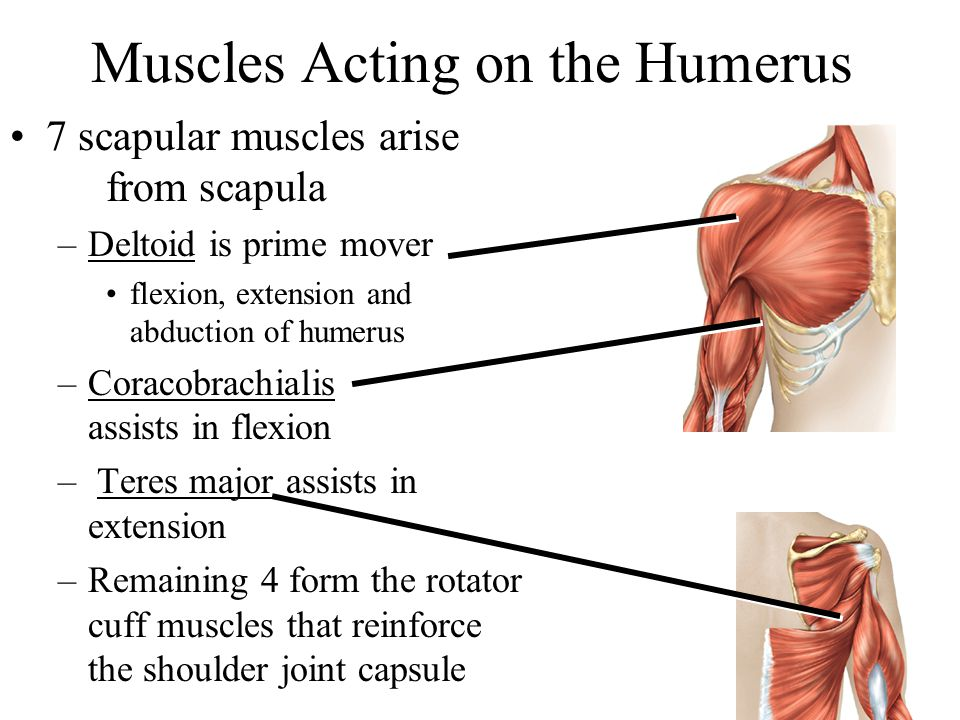 7 scapular muscles arise from scapula –Deltoid is prime mover flexion, extension and abduction of humerus –Coracobrachialis assists in flexion – Teres