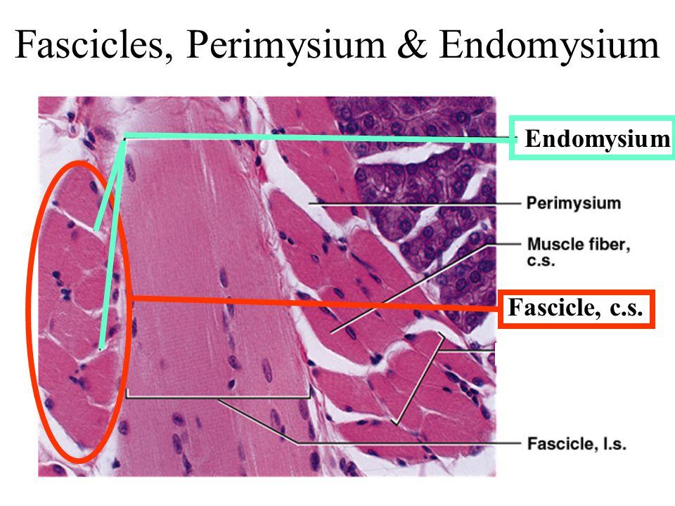 Fascicle, c.s. Fascicles, Perimysium & Endomysium Endomysium