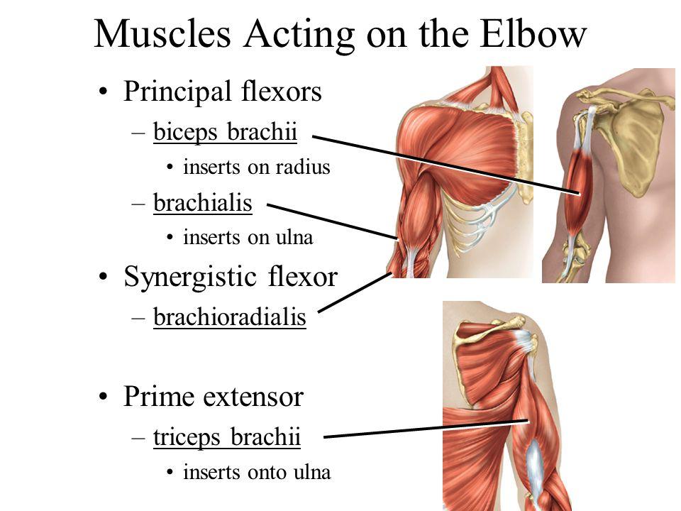 Muscles Acting on the Elbow Principal flexors –biceps brachii inserts on radius –brachialis inserts on ulna Synergistic flexor –brachioradialis Prime