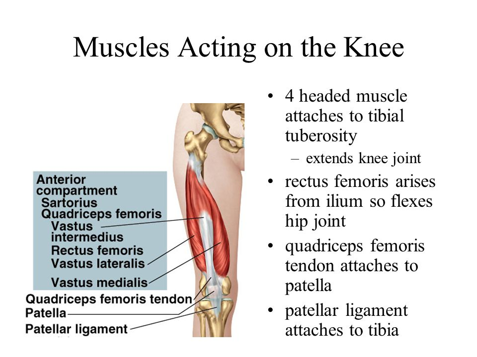 Muscles Acting on the Knee 4 headed muscle attaches to tibial tuberosity –extends knee joint rectus femoris arises from ilium so flexes hip joint quad