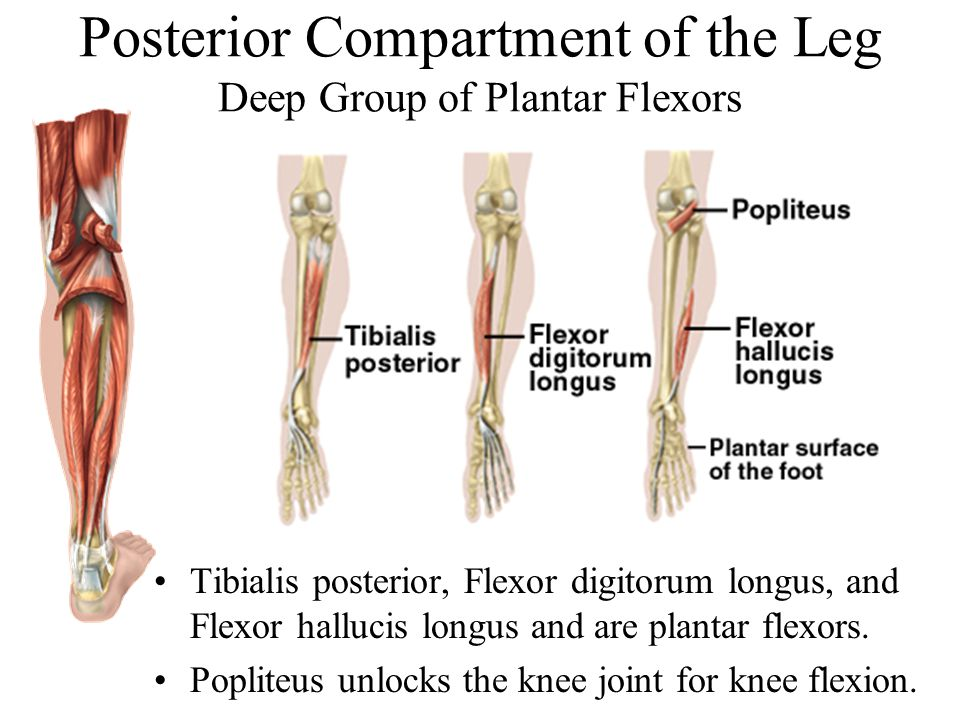 Posterior Compartment of the Leg Deep Group of Plantar Flexors Tibialis posterior, Flexor digitorum longus, and Flexor hallucis longus and are plantar