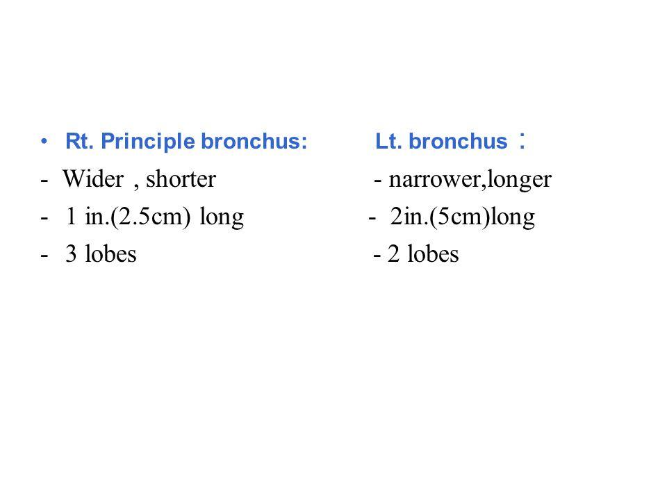 Rt. Principle bronchus: Lt. bronchus : - Wider, shorter - narrower,longer -1 in.(2.5cm) long - 2in.(5cm)long -3 lobes - 2 lobes