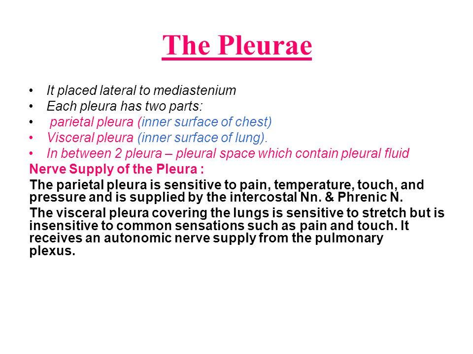 The Pleurae It placed lateral to mediastenium Each pleura has two parts: parietal pleura (inner surface of chest) Visceral pleura (inner surface of lu