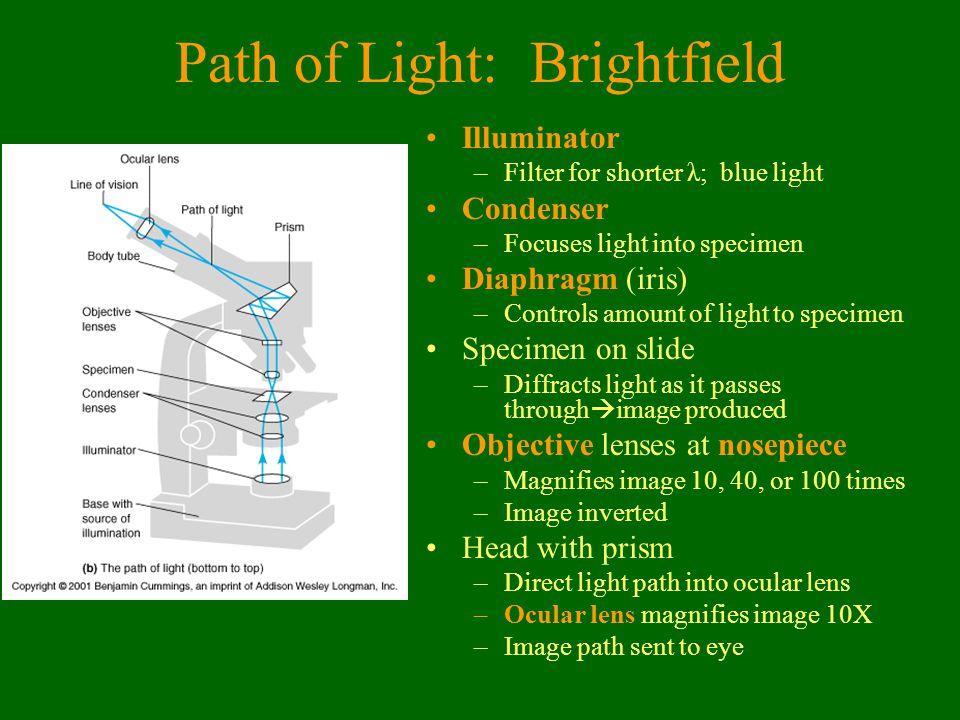 Path of Light: Brightfield Illuminator –Filter for shorter λ; blue light Condenser –Focuses light into specimen Diaphragm (iris) –Controls amount of l