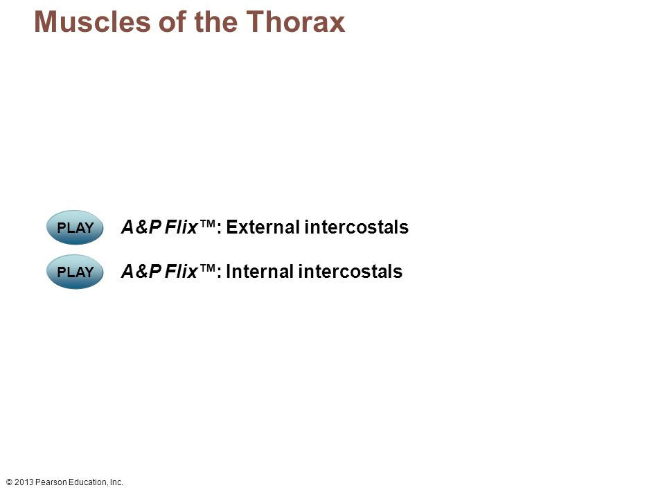 © 2013 Pearson Education, Inc. PLAY A&P Flix™: Internal intercostals PLAY A&P Flix™: External intercostals Muscles of the Thorax