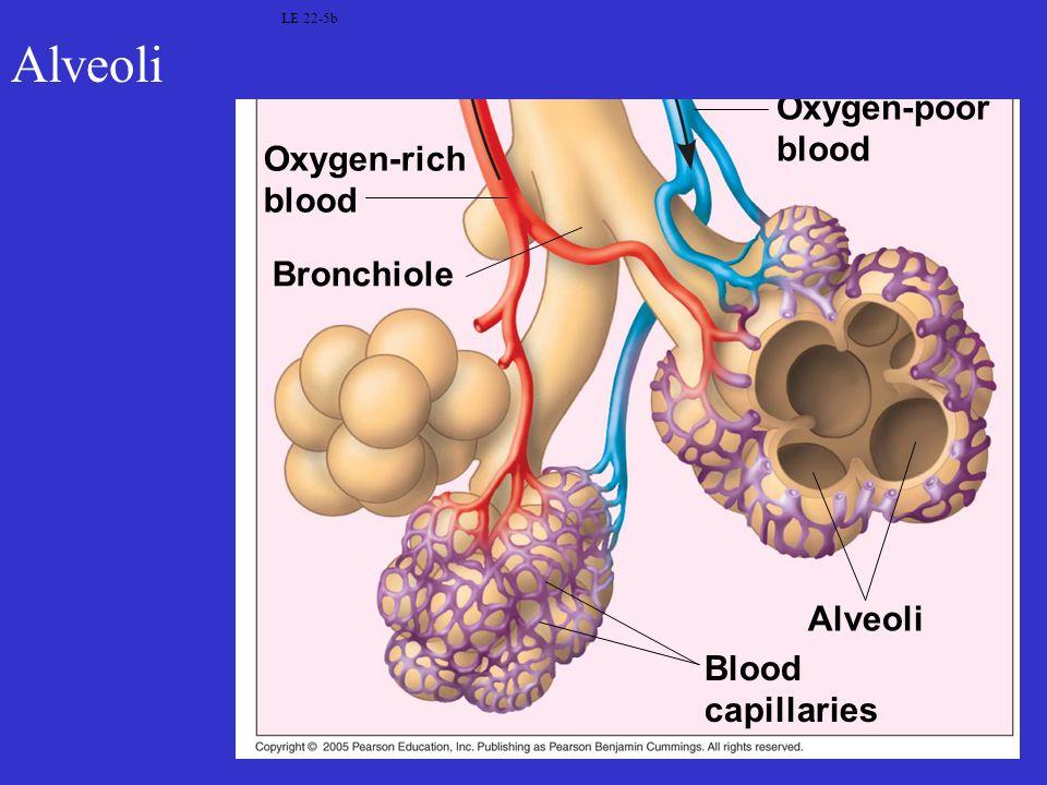 LE 22-5b Oxygen-rich blood Blood capillaries Alveoli Oxygen-poor blood Bronchiole Alveoli