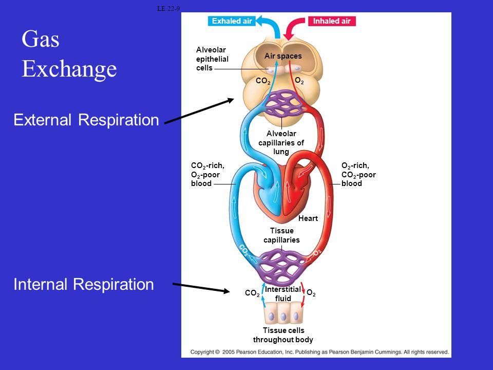 Gas Exchange LE 22-9 Alveolar epithelial cells Air spaces CO 2 O2O2 Alveolar capillaries of lung CO 2 -rich, O 2 -poor blood O 2 -rich, CO 2 -poor blo
