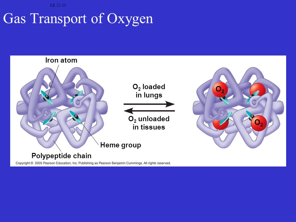 Gas Transport of Oxygen LE 22-10 Iron atom Polypeptide chain Heme group O 2 loaded in lungs O 2 unloaded in tissues O2O2 O2O2